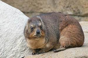 The Rock or Cape Hyrax is a medium-sized (~ 4 kg) terrestrial mammal, superficially resembling a guinea pig with short ears and tail. The rock hyrax is found across Africa and the Middle East, in habitats with rock crevices in which to escape from predators. Hyraxes typically live in groups of 10–80 animals, and forage as a group. Their most striking behaviour is the use of sentries: one or more animals take up position on a vantage point and issue alarm calls on the approach of predators. The rock hyrax has incomplete thermoregulation, and is most active in the morning and evening, although their activity pattern varies substantially with season and climate. Over most of its range, the rock hyrax is not endangered, and in some areas is considered a minor pest. In Ethiopia, Israel and Jordan, they have been shown to be a reservoir of the leishmaniasis parasite.