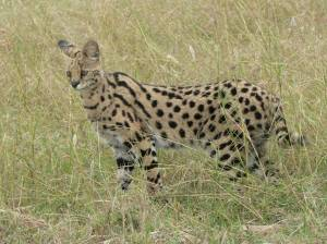 """African servals are small, slender cats with long legs, a lean body, short tail, and a small head. Their extra-long neck and legs give them the nickname """"giraffe cat."""" Servals have a coat that is tawny with both black lines and spots, while their belly is a soft white. They top out at 40 pounds (18 kilograms) yet have the largest ears of any cat. Just how big are those ears? If we had ears in the same proportion to our head as servals do, they would be the size of dinner plates!"""