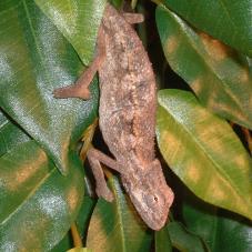 The Side Striped Chameleon ranges from East Africa including Ethiopia, Kenya, Somalia, southern Sudan, Tanzania, Uganda, and north-eastern Congo (Zaire). (Wikipedia)