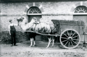 bactrian-camel-pulling-dung-cart-at-london-zoo-1913_frederickwilliambond_allposters-co-uk